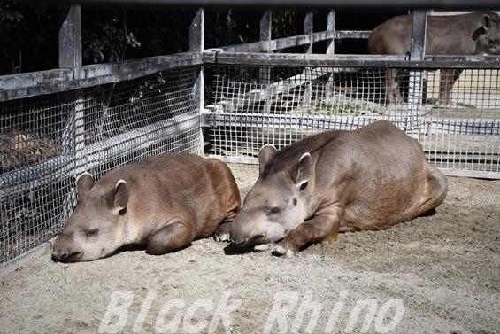 ブラジルバク ミノリとナット1 京都市動物園