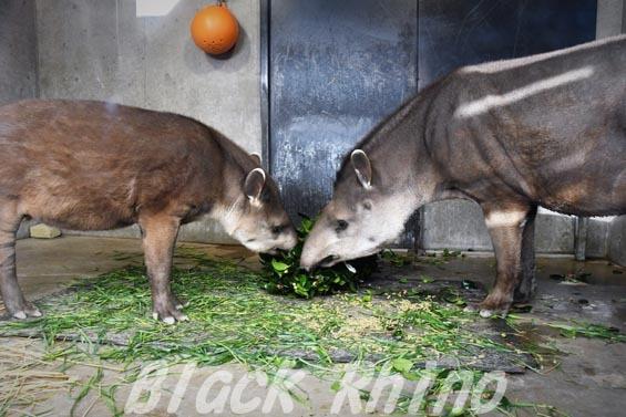 ブラジルバク ミノリとナット2 京都市動物園