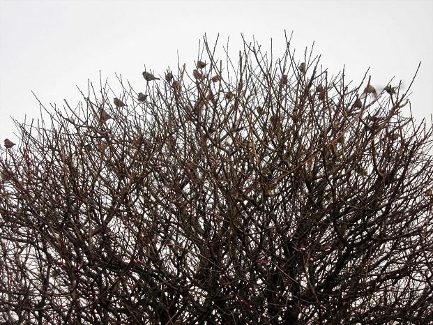 18.2.28 梅の木にスズメ (4)