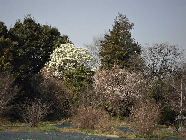 7 18.3.14 秋葉の森散歩・ミズキ (93)