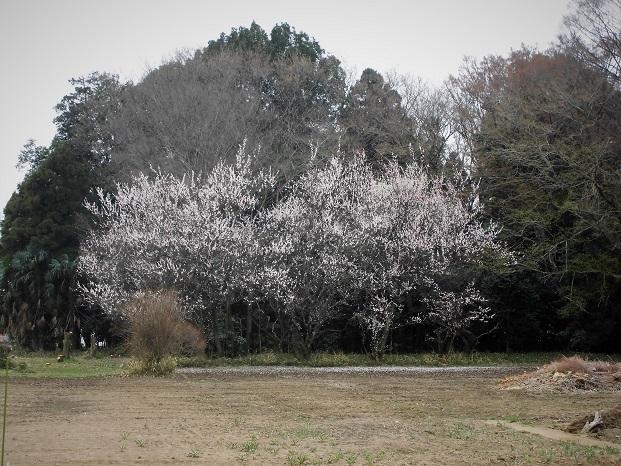 18.3.16 散歩 シイタケ (3)