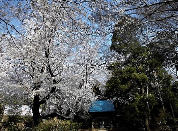 1 18.3.27 桜・ママチャリ (4)