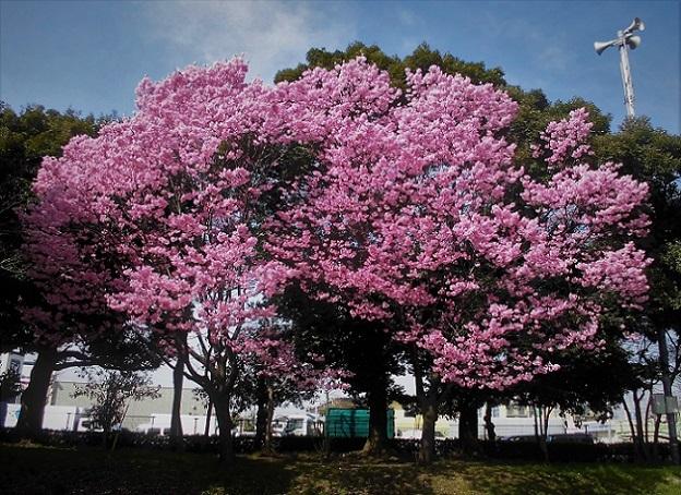 2 18.3.27 桜・ママチャリ (6)
