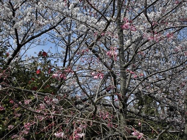 7 18.3.27 桜・ママチャリ (172)