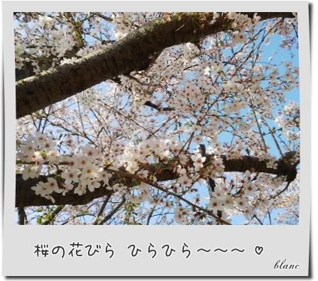 sakura(2).jpg