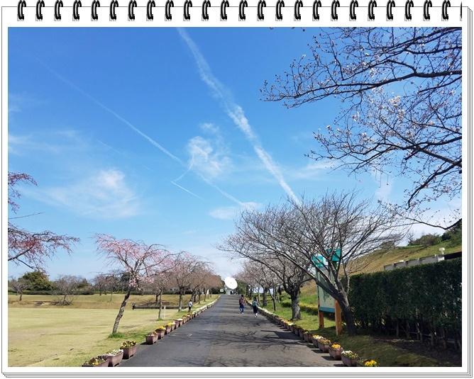 錦江湾公園桜1-2