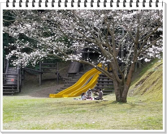 錦江湾公園桜1-6