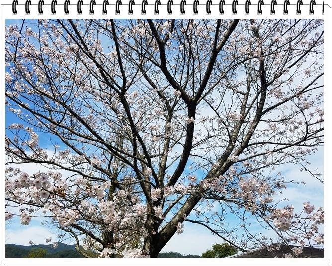 錦江湾公園桜1-7