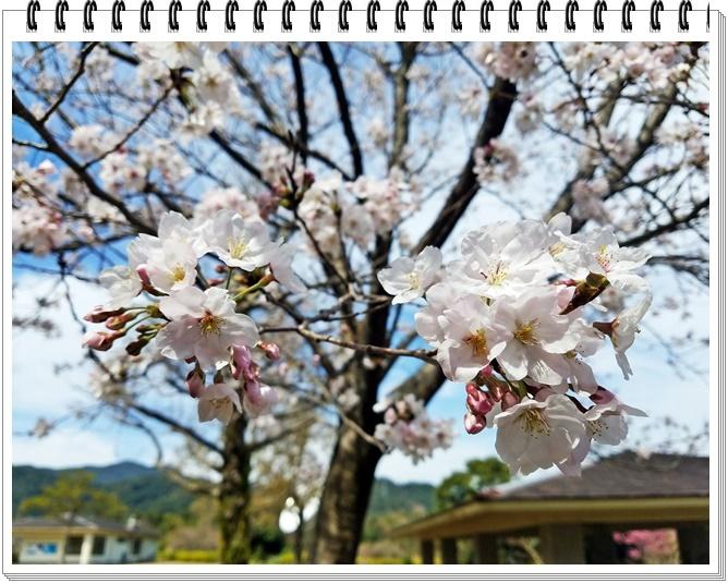 錦江湾公園桜1-8
