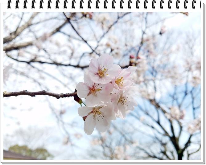 錦江湾公園桜1-9