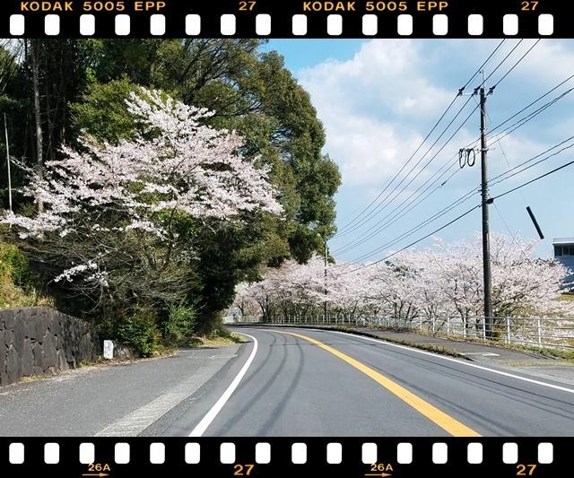 桜満開1-1