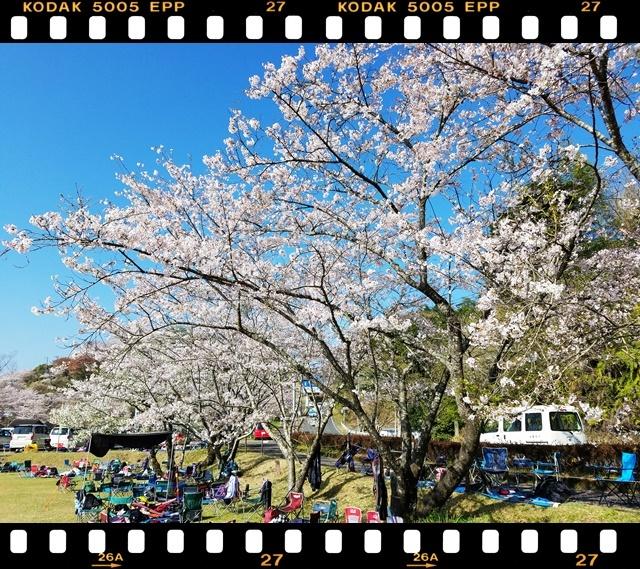 桜満開1-2