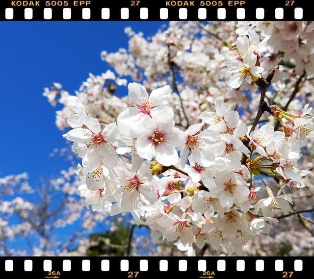桜満開1-3