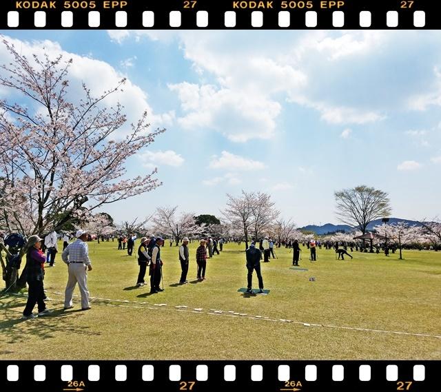 桜満開1-4