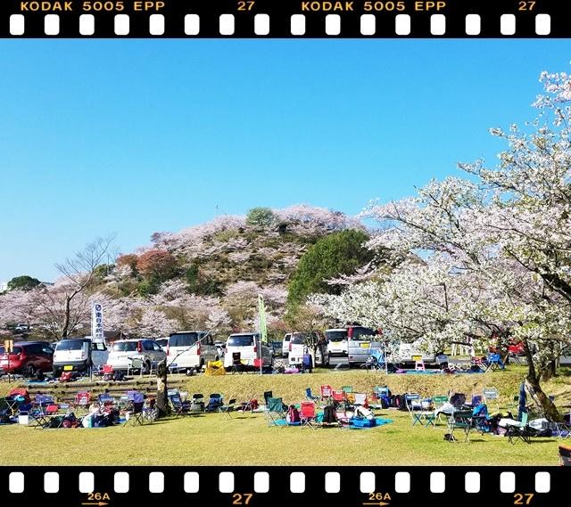 桜満開1-5