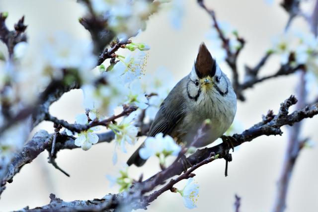 桜とカンムリチメドリ(4)