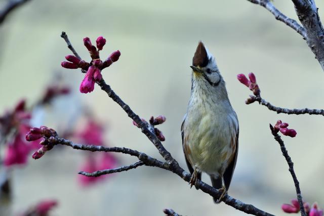 桜とカンムリチメドリ(3)