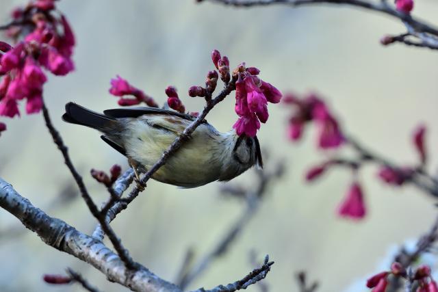 桜とカンムリチメドリ(2)
