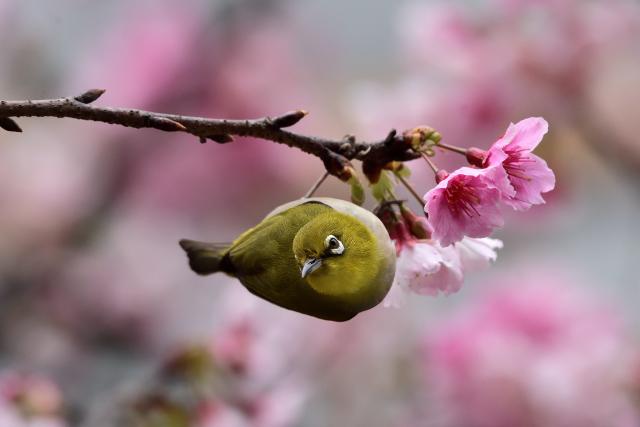 富士桜とメジロ(5)