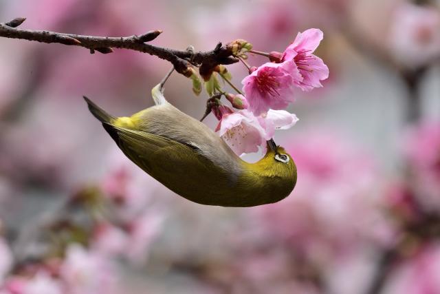 富士桜とメジロ(4)