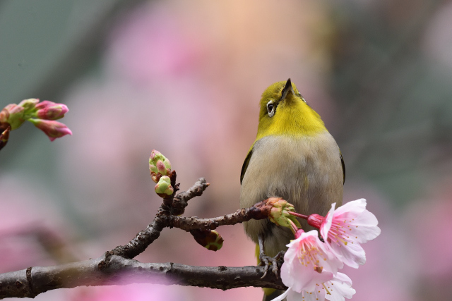 富士桜とメジロ(2)