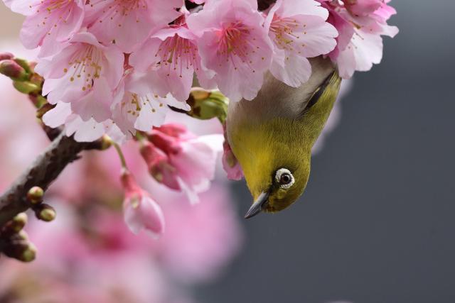 富士桜とメジロ(1)