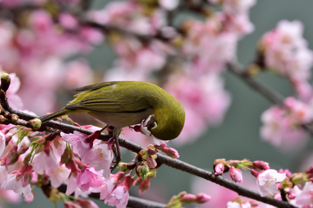 富士桜とメジロ⑩