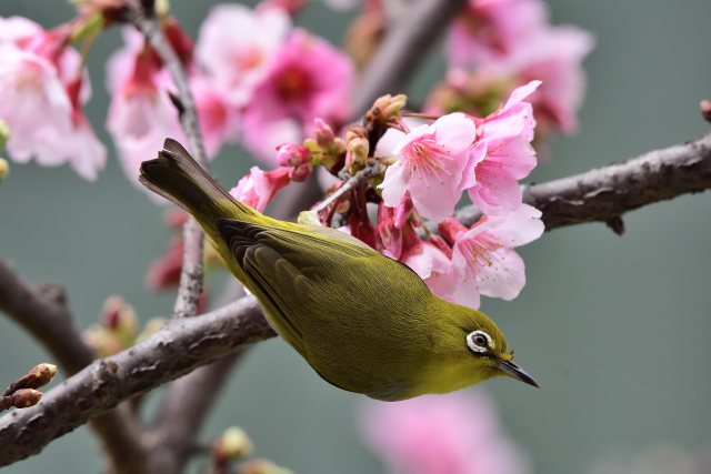 富士桜とメジロ⑧