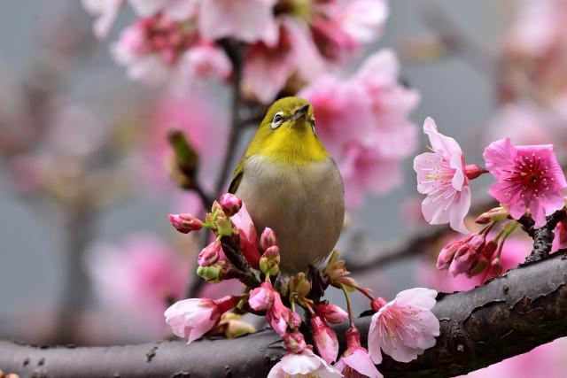 富士桜とメジロ8
