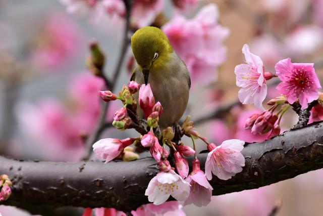 富士桜とメジロ(7)