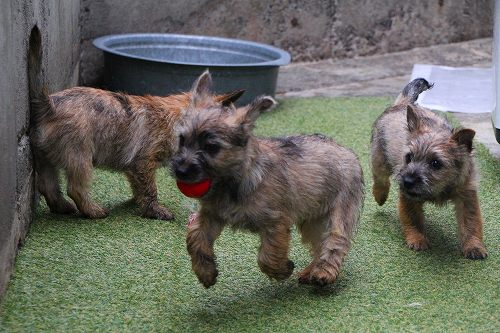 Image result for border terrier 犬  テール