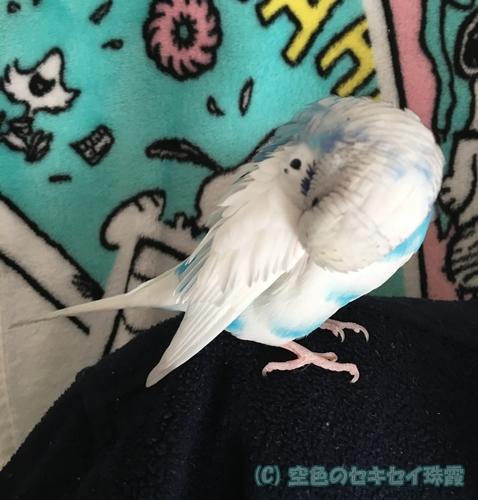 肩の上で毛づくろい 空色のセキセイ珠霞