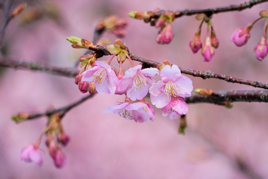 2018年河津桜