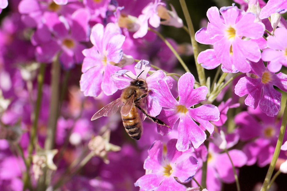 桜草に西洋蜜蜂
