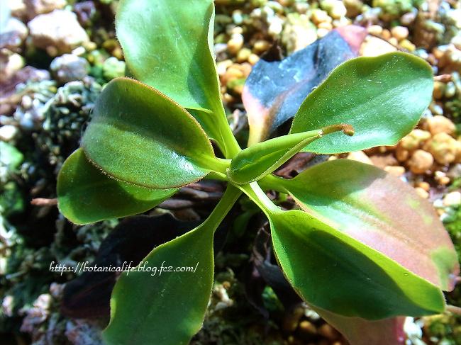 食虫植物の王様、ネペンテス・ラジャ