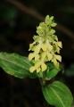 Odontochilus lanceolatus