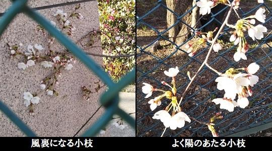 桜標本木の開花宣言
