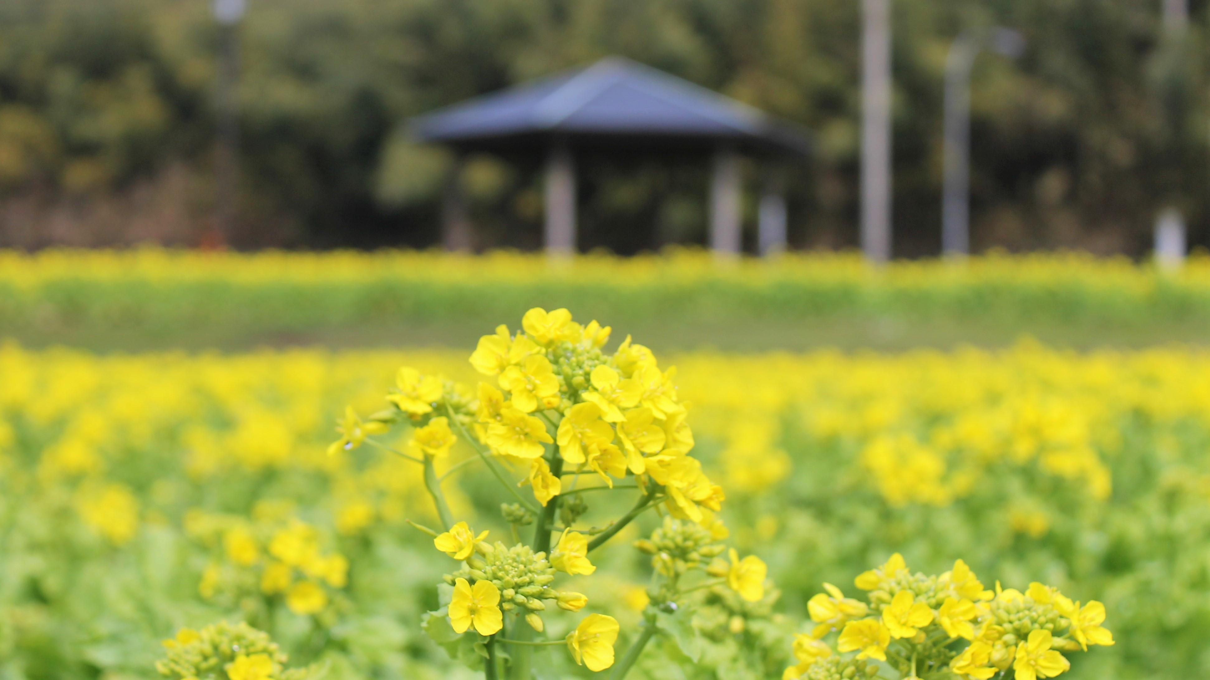 菜の花畑にて