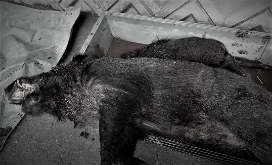 2018.02.18ターミネーターイノシシ3