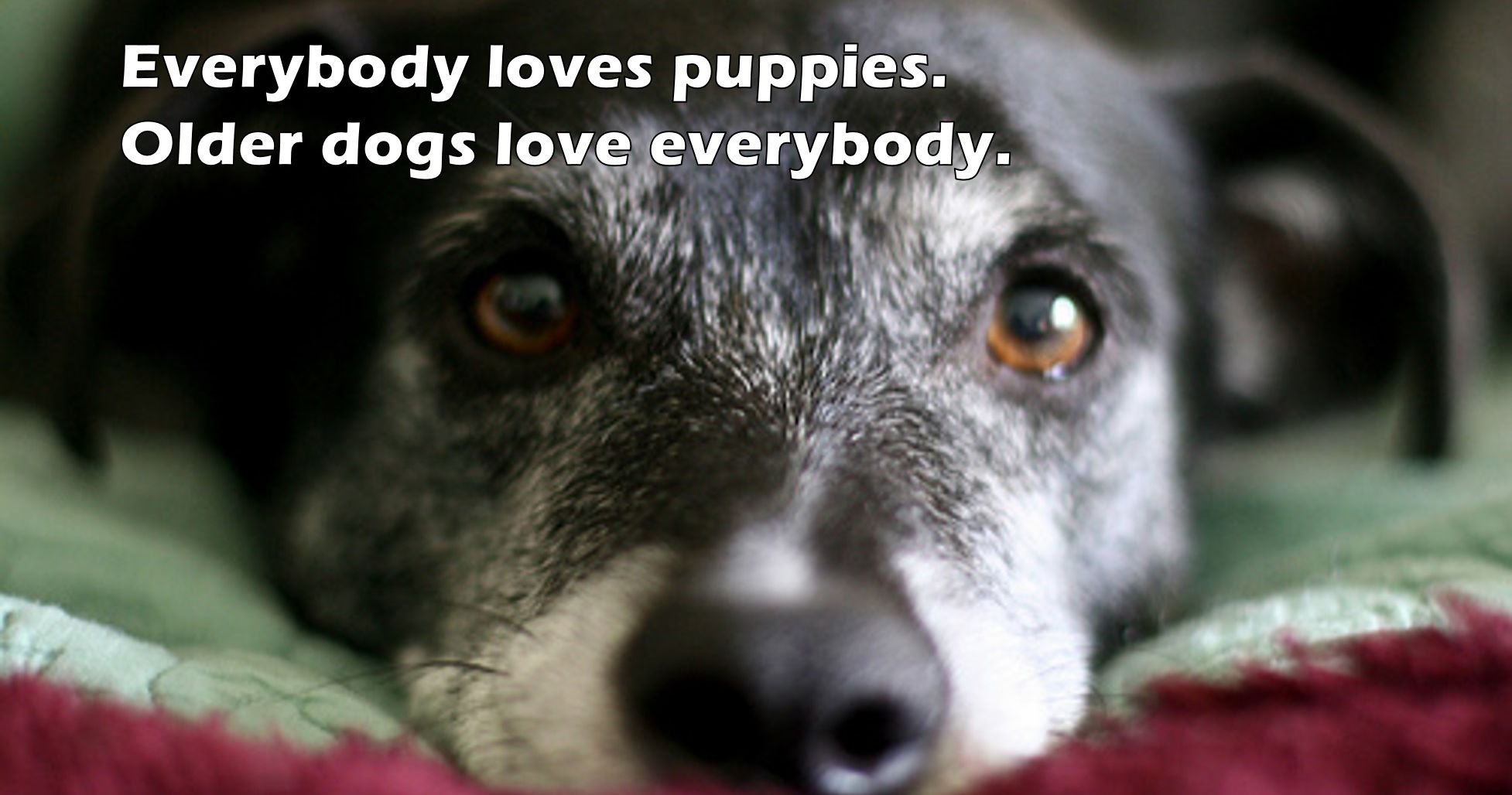 adopt-older-dogs.jpg