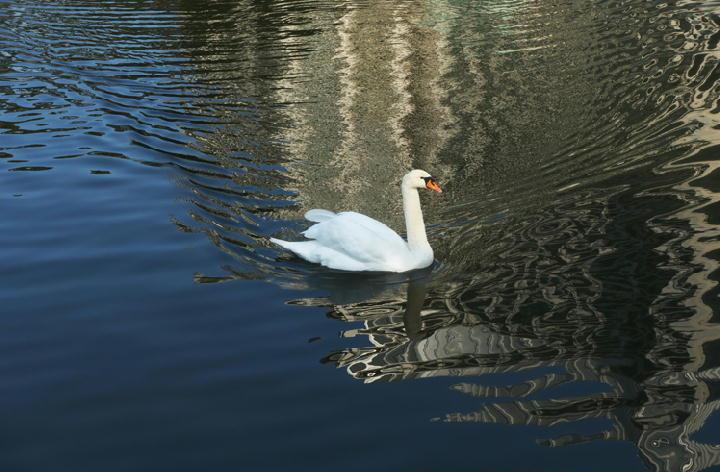 お堀の白鳥-086