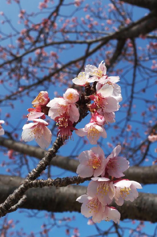 四季桜-155