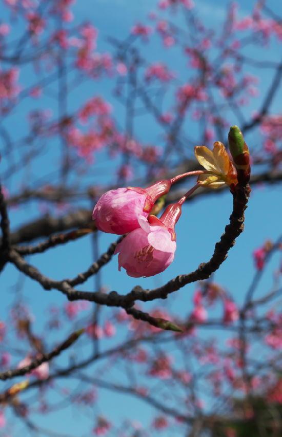 桜-191