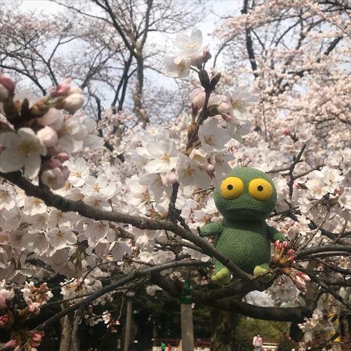 ゆうブログケロブログお花見2018 (4)