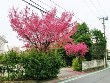 18-3-19 桜1