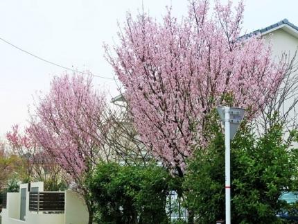 18-3-19 桜2