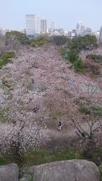 舞鶴公園の桜 (6)