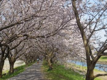 流川の桜並木 (10)