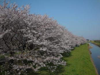 流川の桜並木 (16)