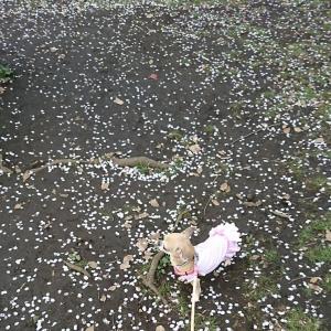 わかば桜3